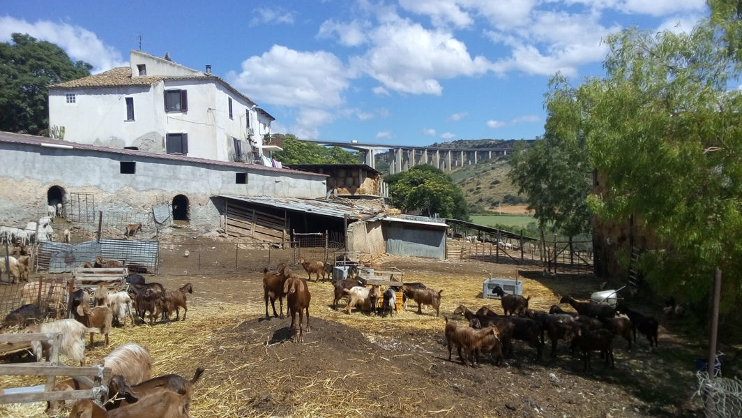 sheep and goats at the farm of Agostino Russo